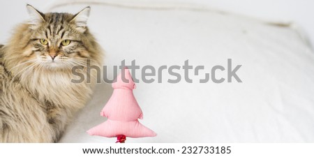 brown cat of siberian breed at one year in Christmas time - stock photo