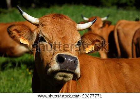 Brown cattle with horns in a flock on a meadow - stock photo