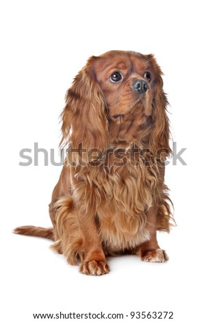 Brown Cavalier King Charles Spaniel in front of a white background - stock photo