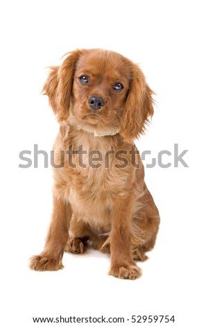 brown cavalier king charles spaniel puppy on a white background
