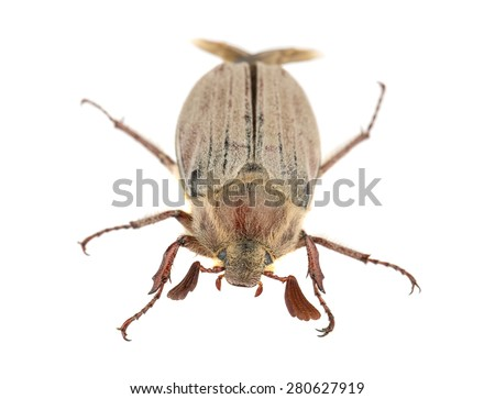 Brown chafer beetle isolated on white background - stock photo