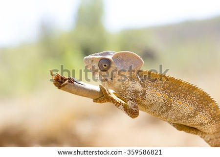 Brown Chameleon reptile in Madagascar