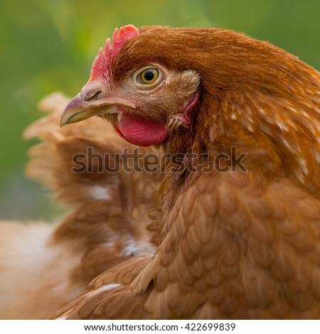 Brown chicken - stock photo