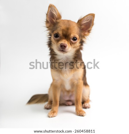 Brown Chihuahua puppy - stock photo