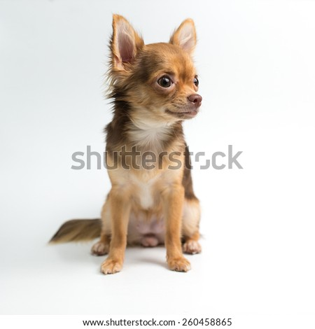 Brown Chihuahua puppy