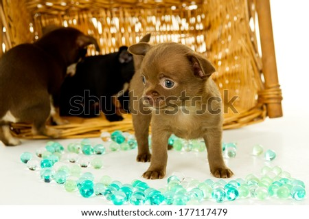 Brown chihuahua puppy and his brothers - stock photo