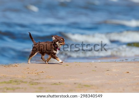 brown chihuahua puppy walking on the beach - stock photo