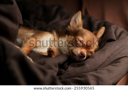brown chihuahua sleeping on the bed with blanket - stock photo