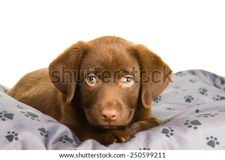Brown chocolate labrador puppy on grey pillow with paw print 1