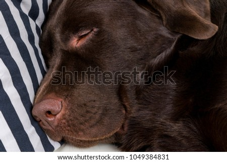 Beautiful Chocolate Brown Adorable Dog - stock-photo-brown-chocolate-labrador-retriever-dog-is-sleeping-on-sofa-with-pillow-sleeping-on-the-couch-1049384831  Pictures_926110  .jpg