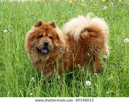 Brown chow chow dog in the green grass. - stock photo