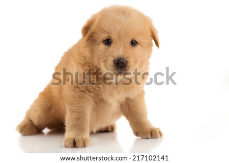 Brown Chow-chow puppy. Portrait on white background - stock photo