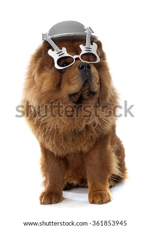 brown chow dog in front of white background - stock photo