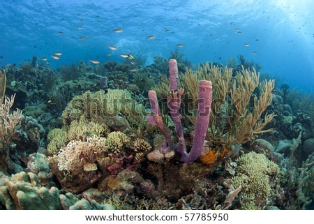 Brown Chromis (Chromis multilineata) swimming over Stove-pipe Sponge (Aplysina archeri) and corals on a beautiful tropical coral reef in Bonaire, Netherlands Antilles.
