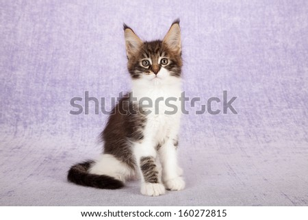 Brown classic tabby with white Maine Coon kitten sitting on lilac background - stock photo