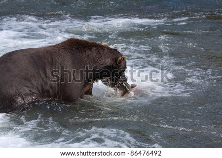 Brown Coastal Bear at Brooks Falls and Lodge catching and eating salmon in the river