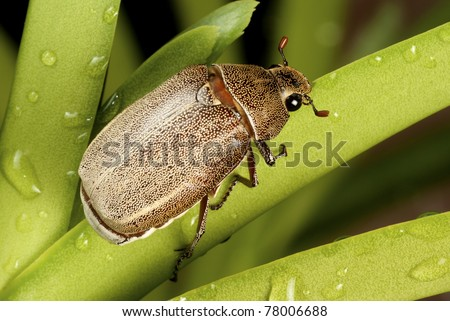 Brown Cockchafer chewing on orchid leaf- Holotrichia geilenkensri - stock photo