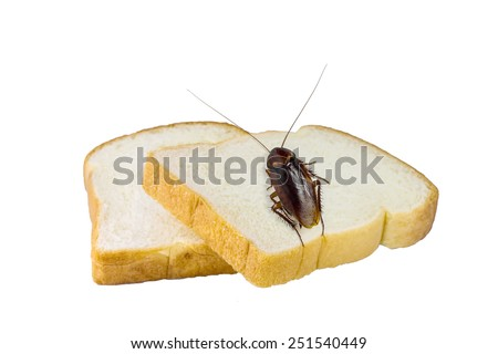 Brown cockroach eating bread isolated  on white background - stock photo