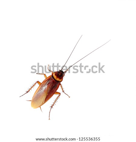 Brown cockroach isolated over white background - stock photo