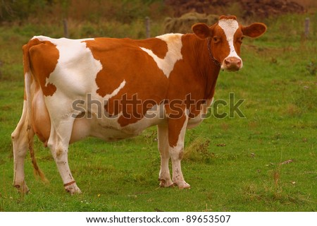 brown cow - stock photo