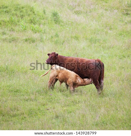 Brown cow and calf suckling in a prairie - stock photo