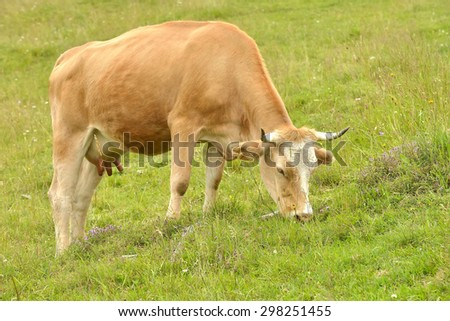Brown cow grazing in fresh pastures - stock photo