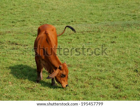 Brown cow grazing on green grass with room for text - stock photo