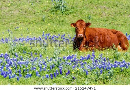 Brown Cow in a Texas Field of Wildflowers - stock photo