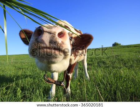 Brown  cow in the field looking at you - stock photo