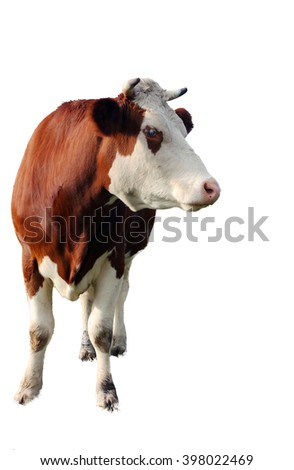 brown cow isolated on white background, closeup - stock photo