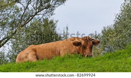 Brown cow lying on a dike with some tree branches in the background