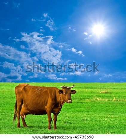 brown cow on a pasture - stock photo
