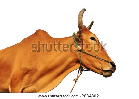 brown cow on a white background from Thailand - stock photo