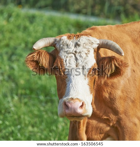 Brown cow stares at the camera - stock photo