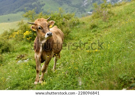 Brown cow with smart face looking into the camera - stock photo