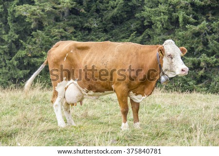 Brown cow with white face standing on a pasture with trees on the background