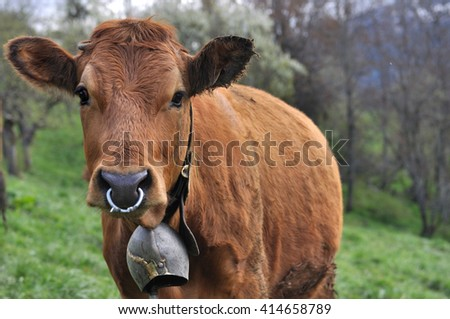 brown cow worning  a bell and ring  - stock photo