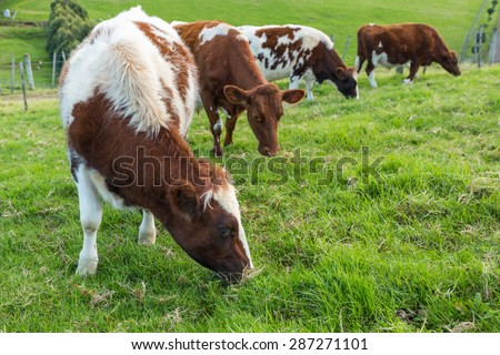 Brown cows eating green grass - stock photo