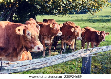 Brown cows grazing at summer field - stock photo