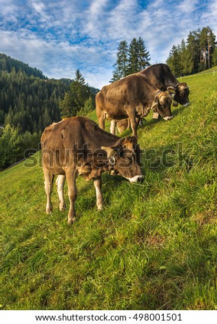 Brown cows in an Alpine meadow
