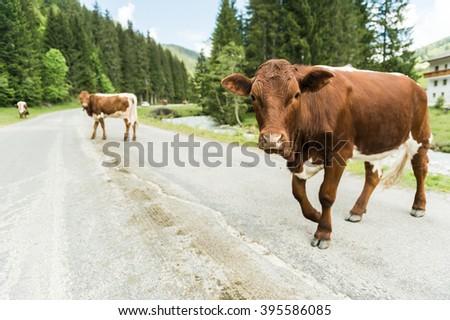 Brown cows walking on the alpine asphalt road  - stock photo