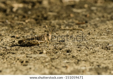 Brown cricket camouflage on dry ground with black ant - stock photo