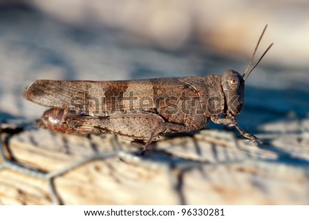 Brown cricket close up full body side view - stock photo