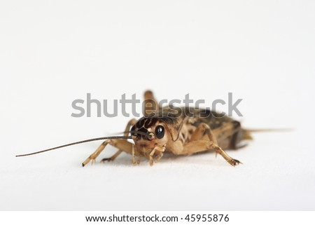 Brown cricket isolated on white - stock photo