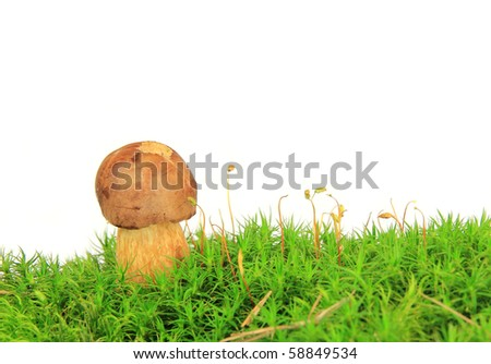 Brown cup mushroom on moss isolated