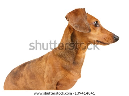 Brown dachshund dog isolated on white background
