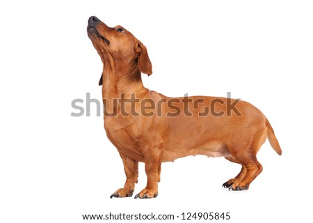 brown dachshund dog isolated over white background - stock photo