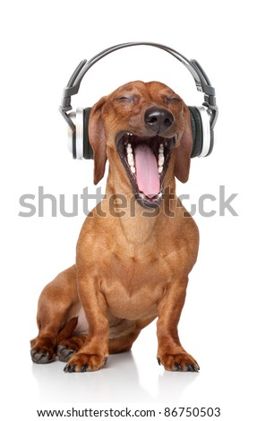 Brown Dachshund listen music in headphones - stock photo