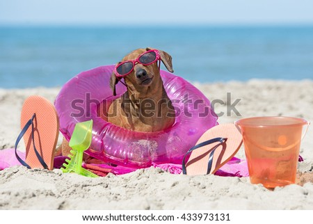 brown dachshund on the beach with toys - stock photo