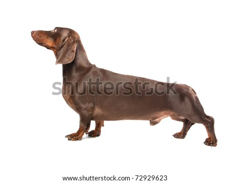Brown dachshund on white ground